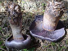 Cortinarius violaceus MS7 (6).jpg