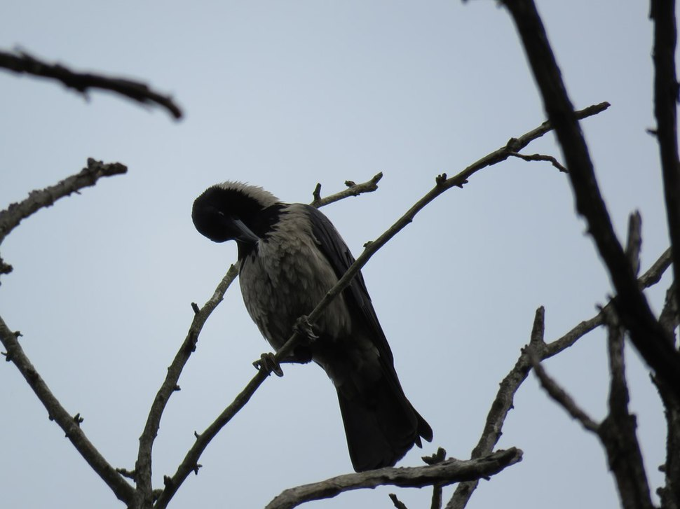 Corvus cornix4