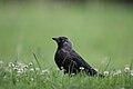 Corvus monedula 1.JPG