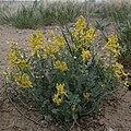 Corydalis aurea habitus1.jpg
