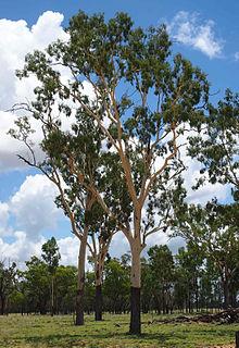<i>Corymbia tessellaris</i> species of plant