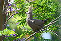 Corythaixoides concolor -in tree -South Africa-6.jpg