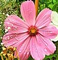 Cosmos-flower.jpg