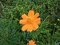 Cosmos , Orange colour,westbengal.jpg