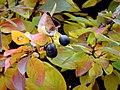 Cotoneaster Berries (5167293272).jpg