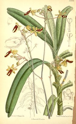 Cottonia peduncularis (as Cottonia macrostachya) - Curtis' 116 (Ser. 3 no. 46) pl. 7099 (1890).jpg