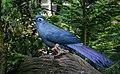 Coua caerulea (Blauer Seidenkuckuck - Blue Coua) - Weltvogelpark Walsrode 2013-01.jpg