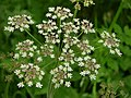 Cow Parsley or Queen Annes Lace - geograph.org.uk - 495857.jpg