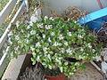 Crassula ovata bloomed-1.JPG
