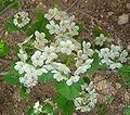 Crataegus-mollis-flowers.jpg