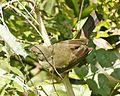 Cream-vented Bulbul (Pycnonotus simplex) - Flickr - Lip Kee (3).jpg