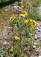 Crepis biennis ENBLA02.JPG