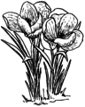 Crocus (PSF).png