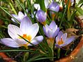 Crocus flower blooming in southern California.jpg