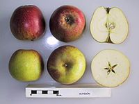 Cross section of Bondon, National Fruit Collection (acc. 1947-164).jpg