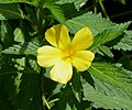 Cuban Buttercup. Turneria ulmifolia - Flickr - gailhampshire.jpg