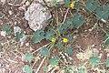 Cucumis sagittatus-2101 - Flickr - Ragnhild & Neil Crawford.jpg
