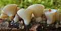 Cudoniella tenuispora 326048.jpg