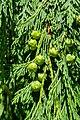 Cupressus nootkatensis Nootka Cypress 02.jpg