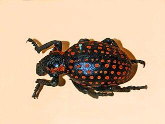 Brachycerinae - Brachycerus ornatus from South-Western Africa
