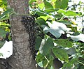 Cyclopelta siccifolia (Westwood) Bangalore India Mar 2019 - 3.jpg