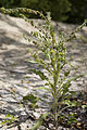 Cynoglossum officinale sabliere-morriere-plailly 60 30062008 02.jpg