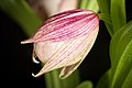 Cypripedium macranthos '-1905 Kawai' Sw., Kongl. Vetensk. Acad. Nya Handl. 21 251 (1800) (40911291743).jpg