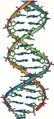 DNA double helix vertikal.PNG