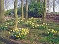 Daffodil bank - geograph.org.uk - 1541318.jpg