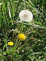 Dandelion, Steyr.jpg