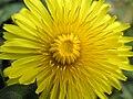 Dandilion Flower.jpg