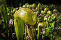 Darlingtonia Californica-1.jpg