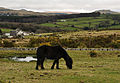 Dartmoor Pony above Clearbrook.jpg