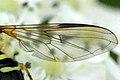 Dasysyrphus.venustus9.-.lindsey.jpg