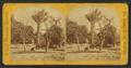 Date palms and fig trees, St. John's River, Fla, from Robert N. Dennis collection of stereoscopic views.png