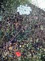 Daucus carota Habitus DehesaBoyaldePuertollano.jpg