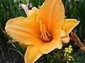 Daylilies in Bloom - 9432551538.jpg