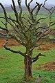 Dead Tree, Field End - geograph.org.uk - 780519.jpg