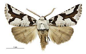 Declana egregia - Male specimen