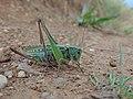 Decticus verrucivorus lempes2.jpg