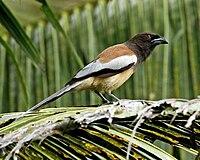 Dendrocitta vagabunda -Kerala, India-8a.jpg