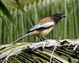 Dendrocitta - Image: Dendrocitta vagabunda Kerala, India 8a
