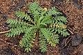 Descurainia incisa - Flickr - aspidoscelis.jpg