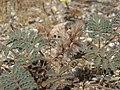 Desert silk, Dalea mollissima (16035938376).jpg