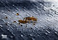 Deutsche Wespen Arbeiterin auf Tisch.jpg