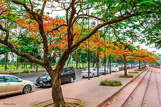 Dhaka - Delonix regia trees blooming in Dhaka during the summer Sher-e-Bangla Nagar