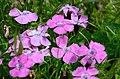 Dianthus alpinus.jpg