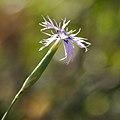 Dianthus broteri subsp. valentinus 01.JPG