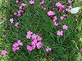 Dianthus carthusianorum a3.jpg