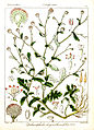 Dichrocephala chrysanthemifolia Rungiah.jpg
